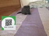 柳州哪里卖蓝猫 柳州哪里有宠物店 柳州哪里卖宠物猫便宜