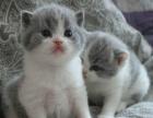 出售自家繁殖英短蓝白,蓝猫,银渐层