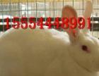种兔批发价格 好的种兔繁育能力强 宠物兔