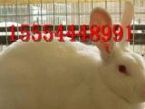 种兔养殖提供养兔技术獭兔价格肉兔种鸽价格