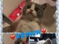 【KingCat】纯种英短美短无毛布偶等猫咪