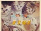 济宁市中区家庭繁育纯种英短蓝猫出售【董家】