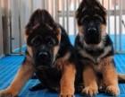出售德国黑背德国牧羊犬疫苗已做好可上门选品