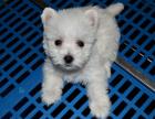 专业繁殖纯种西高地幼犬出售,签协议保纯种健康,欢迎