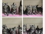 出售美国短毛猫 虎斑猫 美短加白 起司 可看猫咪