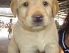 天津出售纯种拉布拉多可爱幼犬 导盲犬 威风拉布拉多神犬小七