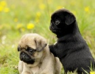 大头版巴哥犬冠军血统保纯种健康价格可议