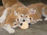 北京西城犬舍出售秋田怎么卖