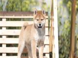 柴犬幼犬出售 实物拍摄 已做疫苗驱虫 可送货