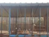 自家养的纯种两头乌观赏鸽便宜出售