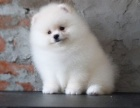 重庆出售精品博美犬,疫苗驱虫已做,可