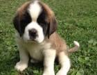 繁殖基地现有圣伯纳幼犬出售中 可签质保合同送货上门