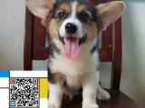 东营哪里有卖格力犬 格力犬多少钱 格力犬图片