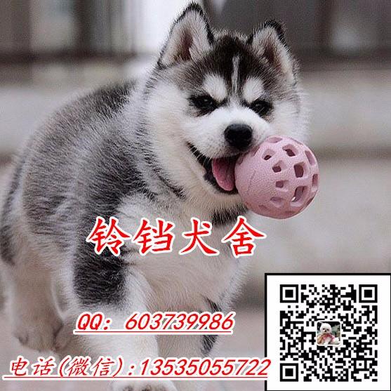 广州哈士奇价格 三把火双蓝眼二哈 高品质纯血统 包健康可送货