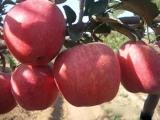 一边倒苗木种植技术_供应山东品种好的苹果苗