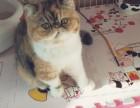 五短加菲猫出售