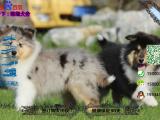 苏格兰牧羊犬多少钱一只/在哪里能买到