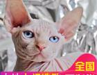 哪里有无毛猫卖国外引进血统无毛猫健康三包