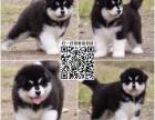 上海狗舍直销 纯种阿拉斯加宝宝 雪橇大傻 可视频看狗 可上门