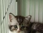 英短蓝猫美短银虎斑幼猫转让