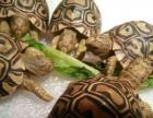 出售豹龟 各种陆龟