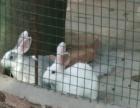 清远有收小兔的吗
