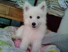 自家犬舍繁殖纯种日系银狐公母都有欢迎上门选爱犬及品鉴父母品质