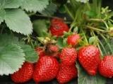 草莓采摘节要来了