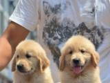 专业出售金毛幼犬 品相一流签订协议送狗狗用品