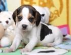 犬舍诚信直销 比格幼犬 健康纯种 支持上门可送货 无中介!
