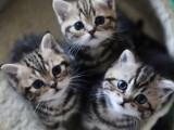 河源折耳猫 美短疫苗齐全 温顺黏人 保证健康