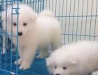 石家庄宠物狗狗 萨摩耶 健康有保障 可爱迷人快来带走