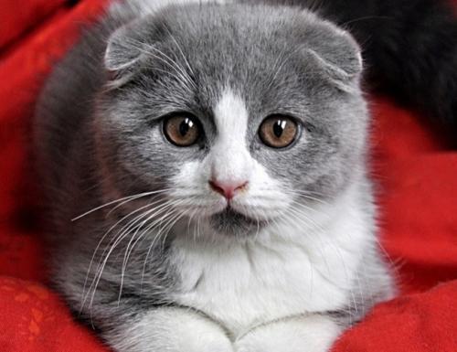 本地布偶猫 CFA血统 纯种猫 活体 海豹双色
