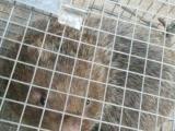 南宁竹鼠,鼠种,商品鼠长期供应