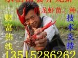 大量供应淡水龙虾苗,虾苗,种苗,抱卵虾