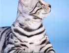 Cfa猫舍认证专业繁殖小豹猫DDMM都有保健康可上门挑选