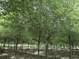 专门批发各种香樟树系列绿化苗木