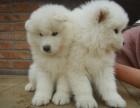 巨型大白熊幼犬是很大气 小狗狗带出去也是非常拉风