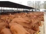 肉羊快速育肥看这个 优农康饲料添加剂