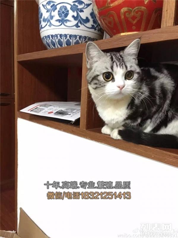 长沙买猫 纯血统加白美国短毛猫 粉爪粉鼻正八清晰蝴蝶纹出售