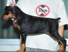 纯那种双血统杜宾犬健康保障60天 送货上门