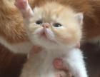 高品质纯种加菲猫出售