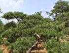 周至1.5米,2米油松树出售,请电话联系朱师傅报价