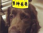 帮爱犬寻找媳妇儿 ~(限拉布拉多)