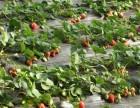 榆次草莓采摘特价票送一斤草莓-榆次春季草莓采摘