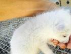 狐狸幼崽小雪狐 白狐宠物狐狸一手现货随发最低价出售