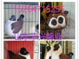 山东元宝鸽观赏鸽肉鸽养殖基地
