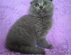 出售纯纯种加菲猫 英国短毛猫 美短 金吉拉 折耳猫 包健康