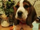 米格鲁比格猎犬出售