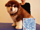 出售纯种可爱阿拉斯加雪橇犬 高品质巨型阿拉斯加幼犬